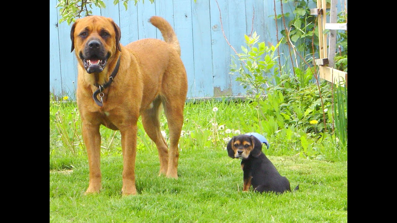 English Mastiff Rottweiler Mix Puppies Vtwctr