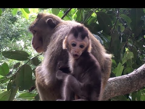 Poor baby cry to call monkey mom help from kidnapper