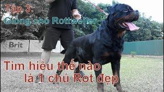 Tập 3: Thế nào là 1 chú Rottẁeiler đẹp chuẩn/Chó ROTTWEILER đẹp/NhamTuatTV-Dog in Vietnam