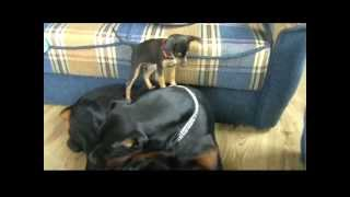 Mini Pinscher Vs Dobermann Ina-lexus