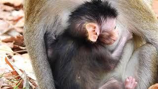 Very adorable newborn baby monkey, Just born baby monkey