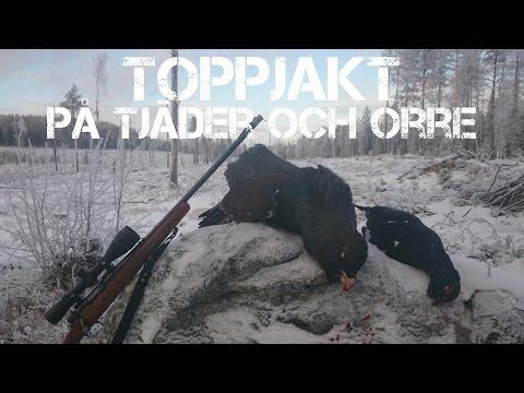 Toppjakt på tjäder och orre 2015 - Capercallie and black grouse hunting in Sweden