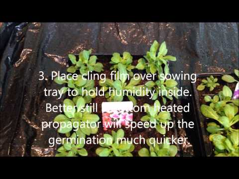 Growing Petunia from seed, Help, care and instructions