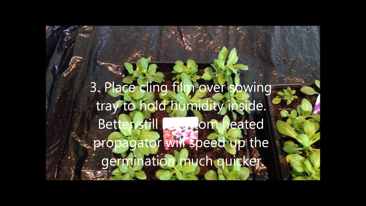 How to grow petunia from seeds - Growing petunia from seed help care and instructions
