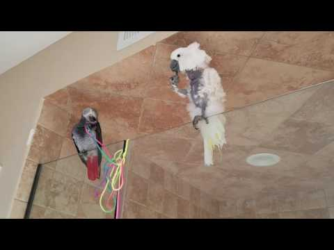 African Grey and Umbrella Cockatoo Hang Out |PARROT VIDEO OF THE DAY