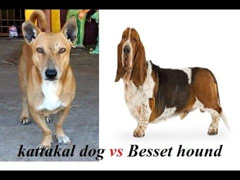 Basset hound,beagle,dachshund Vs தமிழ்நாடு கட்டைக்கால் நாய்கள் Kattakal dog Indian dwarf land race 1