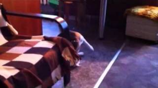Beagle Walking With Tail In Mouth