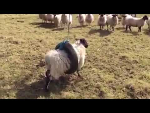 Sheep trapped in tyre swing tries to escape but leaps into air