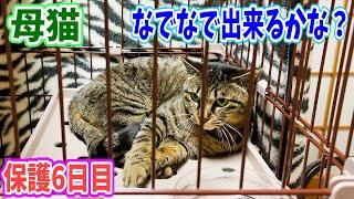 保護母猫家猫化少し慣れてきてくれたのでナデナデ出来るかな? Kitten Cat Japanese traditional house