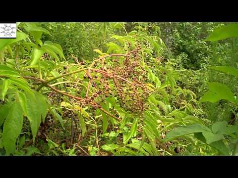 Elderberry Or Water Hemlock Youtube