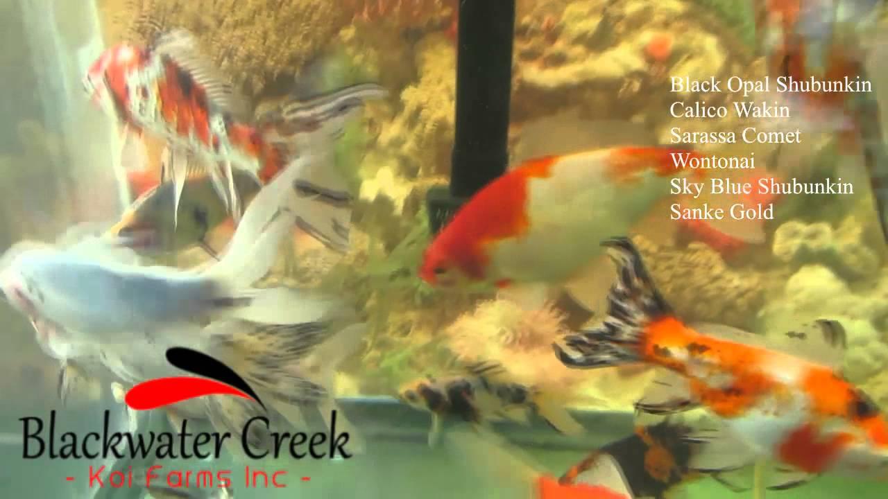 special goldfish