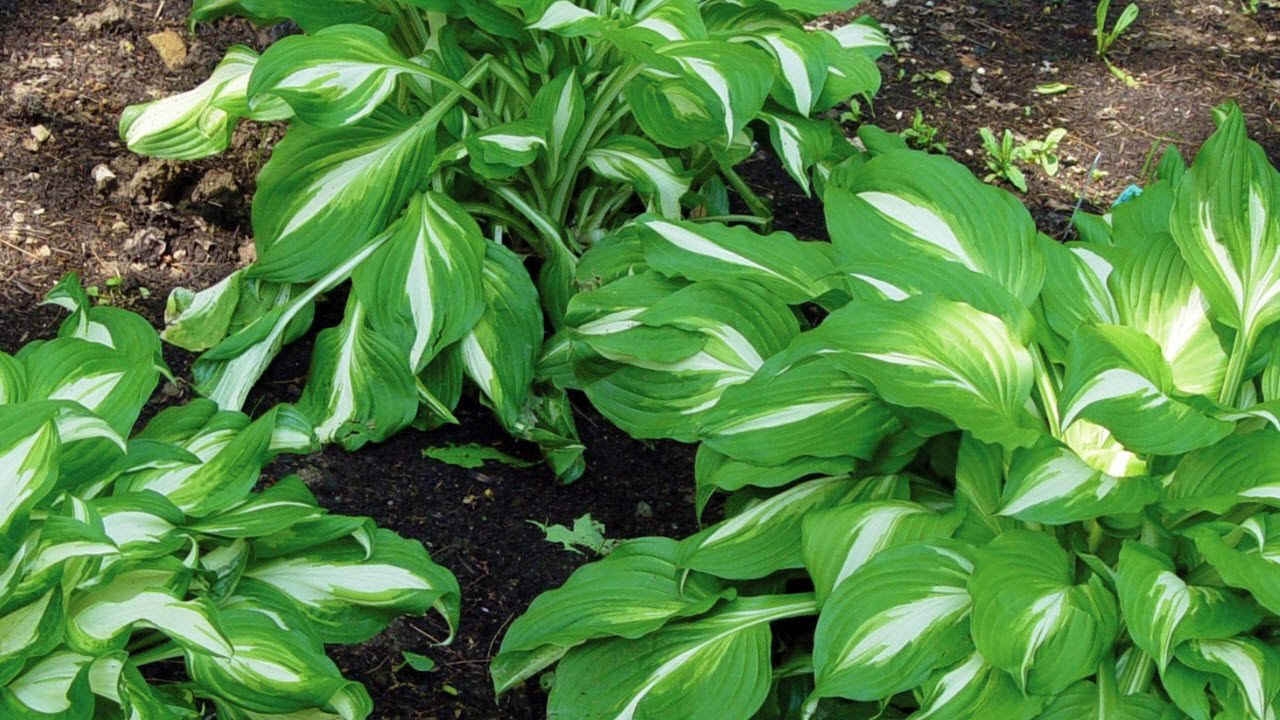Perennial Hosta For Shade Gardens Gardening Tips And Advice Video