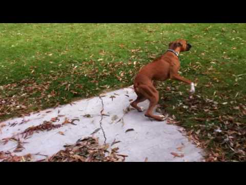 Vicious Boxer Dog Attack