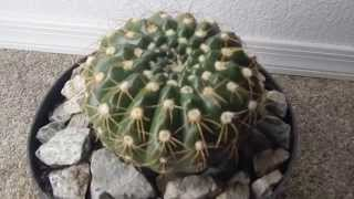 SOUTH AMERICAN CACTUS NOTOCACTUS GREEK NAME BRAZIL PARAGUAY PURPLE FLOWERS DESERT GREENHOUSE CACTI