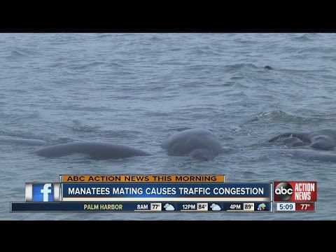 Manatees mating causes traffic congestion - YouTube