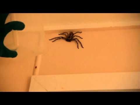Hunting Spiders with Toblerone - Big Ass Spider Contest - Entry #010702