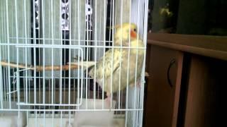 видео обучения как приручить папугая
