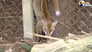 Baby Fox With Leg Stuck Saved by Rescuers | The Dodo