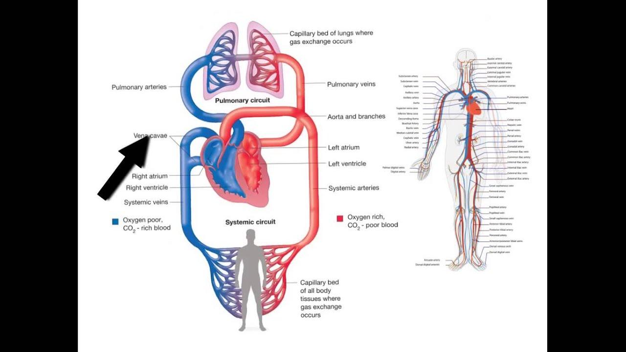 blodomloppet i kroppen