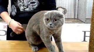 🙀 Милый ИСПУГАННЫЙ Скотиш Фолд 😹 Очень ГРУСТНАЯ Шотландская Кошечка | ПОРОДЫ КОШЕК