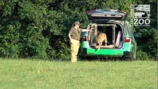 Sarah the Cheetah Breaks World Speed Record - Cincinnati Zoo