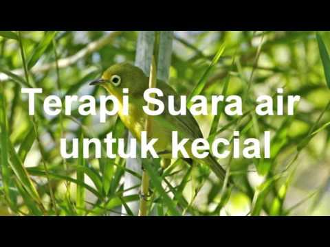 Terapi Suara Pleci Kecial ( Pleci Lombok)