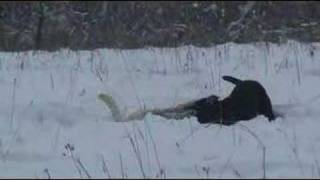 Labrador Retrievers Dance To Sarah Mclachlans River
