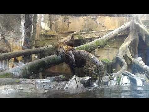 underwater tiger action