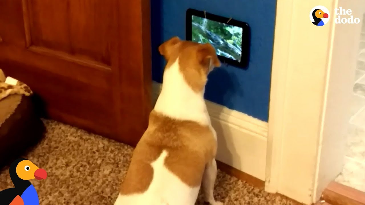 Dog Is So Excited To Get Her Own TV