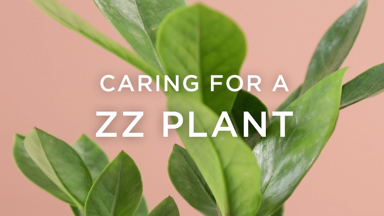 How To Care For A ZZ Plant - YouTube on Zz Plant Care  id=56974