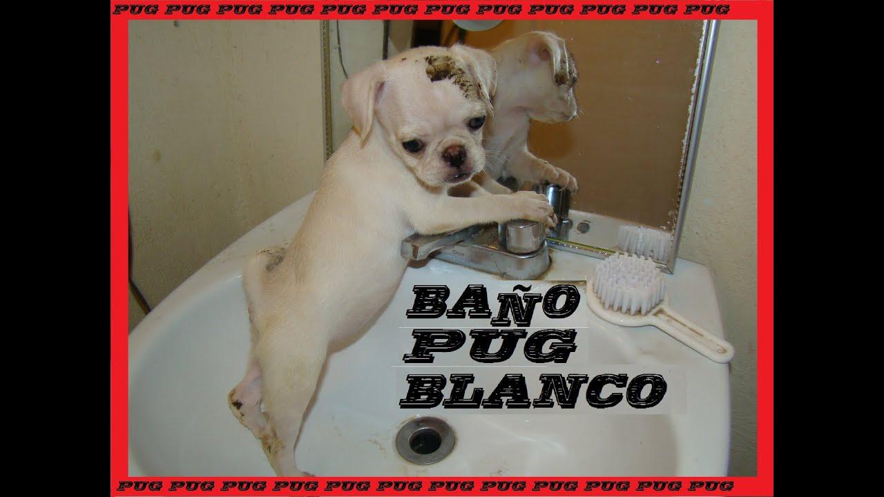 Ba o pug bebe como ba ar a mi perro blanco youtube - Como banar a un perro ...