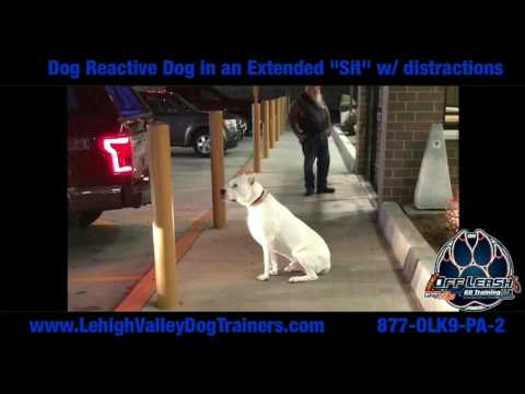 Dog Reactive Dog in a Sit ||| Lehigh Valley Dog Trainers: Off Leash K9 Training