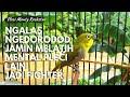 Suara Burung Pleci Gacor Cocok Buat Masteran  Mp3 - Mp4 Download