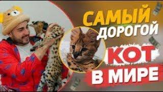 Топ 10 самых дорогих котов. Кот гуччи за полмиллиона. Самые дорогие виды кошек.