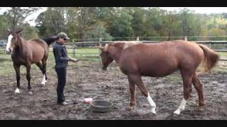 Liberty Clipper Training 2 (Natural Horsemanship)