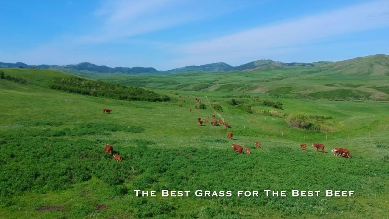 The Best Grass Produces the Best Beef - KM Ranch Montana
