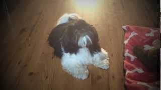 Shih Tzu Puppy Speaks!!