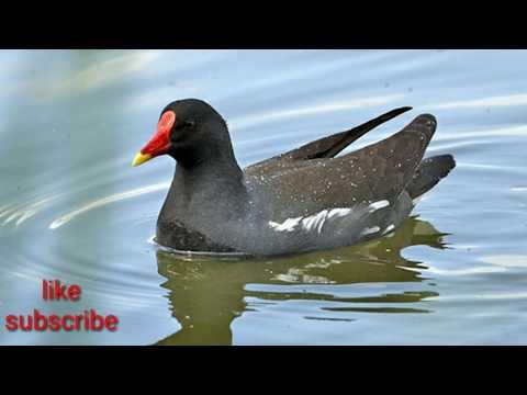 suara ampuh pemanggil burung mandar dan ayam-ayaman'cocok untuk bediler