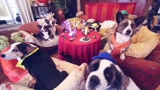 ДЕНЬ РОЖДЕНИЯ СОБАКИ ЧИХУАХУА СОФИ | МНОГО СОБАК, ПОДАРКИ, СОБАЧИЙ ТОРТ(День Рождения моей собаки Чихуахуа Софи! Красивый торт для собаки, подарки для собаки и гости - много собак!..., 2016-11-07T11:17:31.000Z)