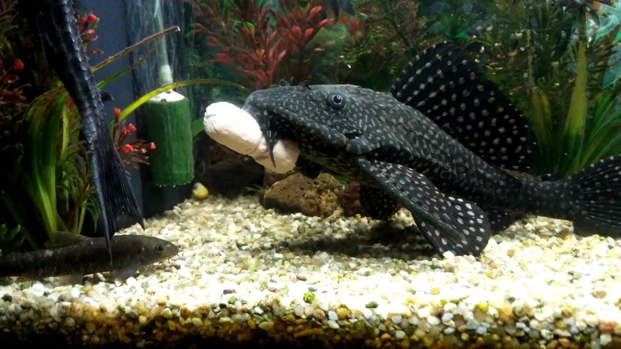 Wurstel piace ai pesci di acqua dolce in qhd youtube for Pesci acqua dolce commestibili