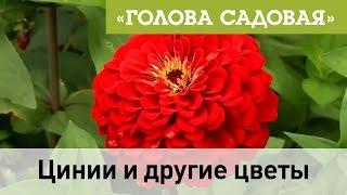 Голова садовая - Цинии и другие цветы