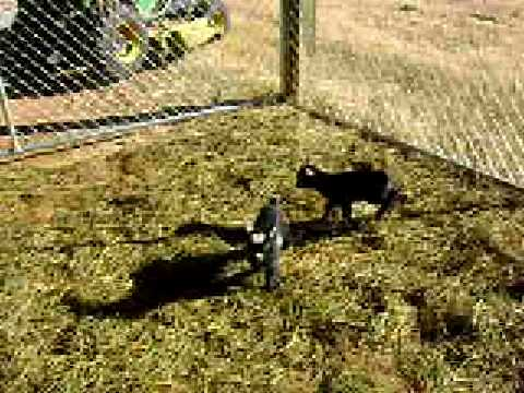 Baby Pygmy Goats Exploring New Pen