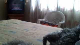 Roddick The Schnauzer Watching Animal Planet