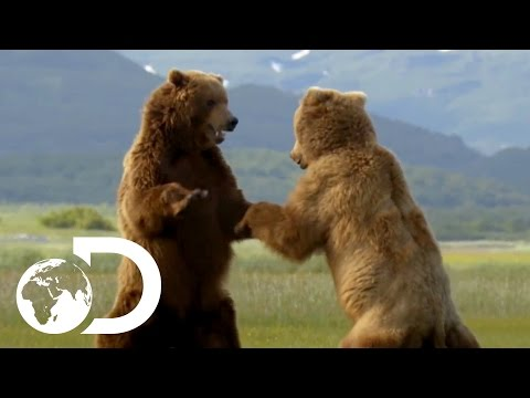 Majestic Bears in the Wild