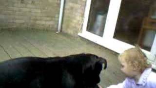 The Dangerous Staffordshire Bull Terrier