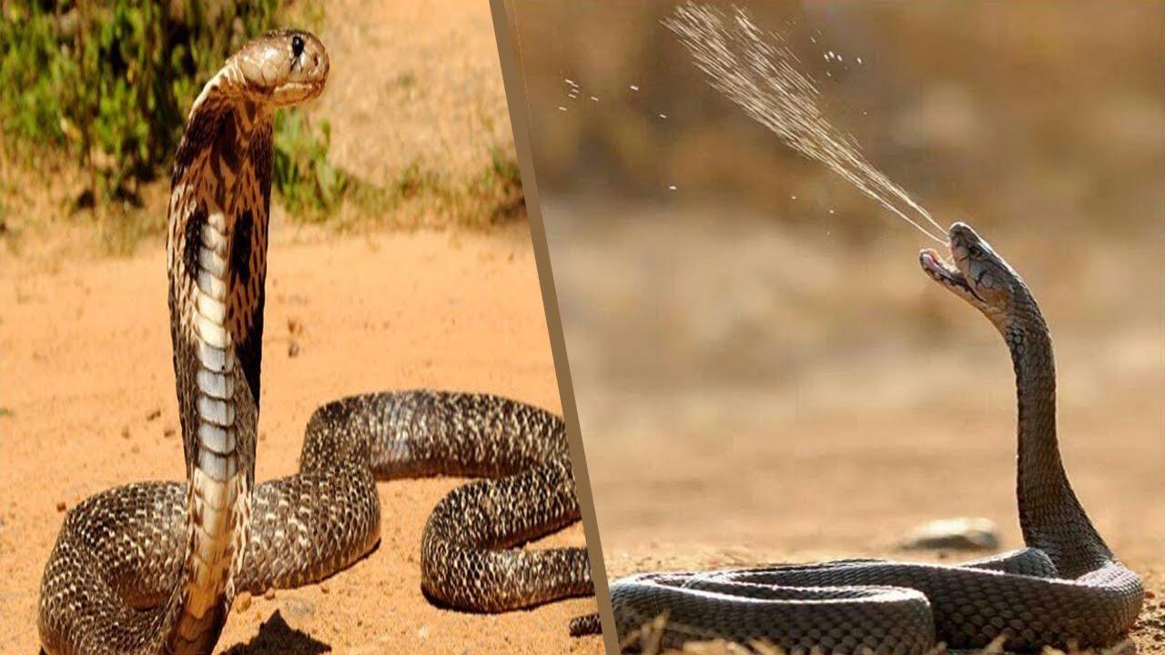Download Naja Cuspideira cospe jato de veneno que pode atingir até dois metros de distância.
