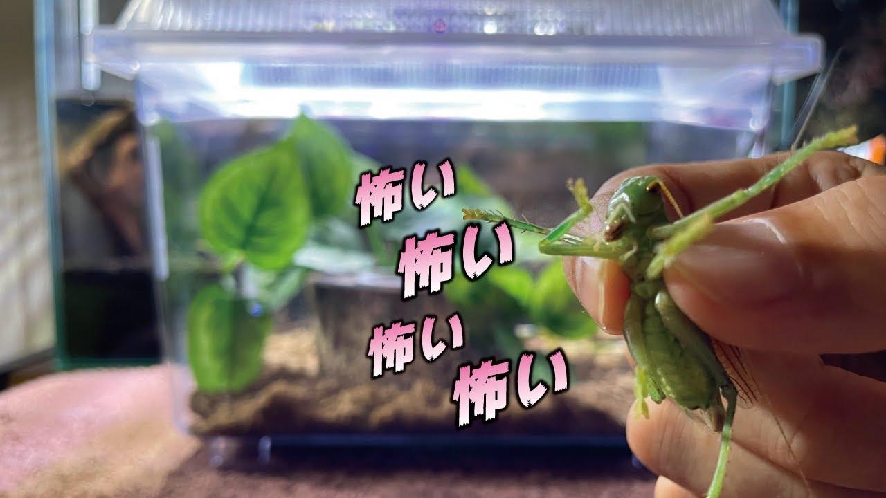日本最強の虫『コロギス』を飼う!
