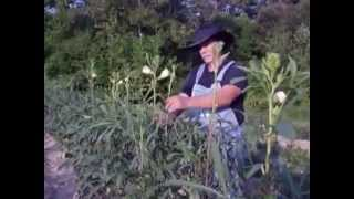 Pruning Okra Plant