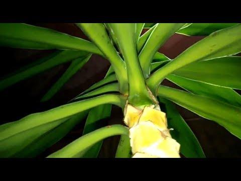 Юкка-3. Пересадка, окончание. Вредители или сухость листьев?