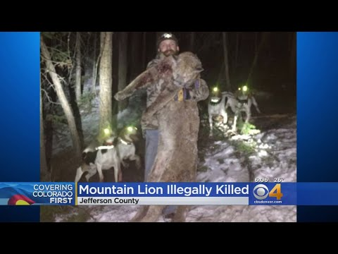 Colorado Man Admits Responsibility For Illegal Killing Of Mountain Lion